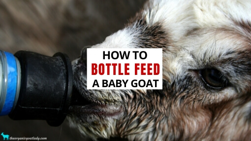 VIDEO-Bottle Feeding Goats