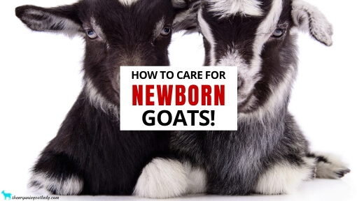 How To Care For Newborn Goats!