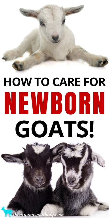 How to Care for Newborn Goats