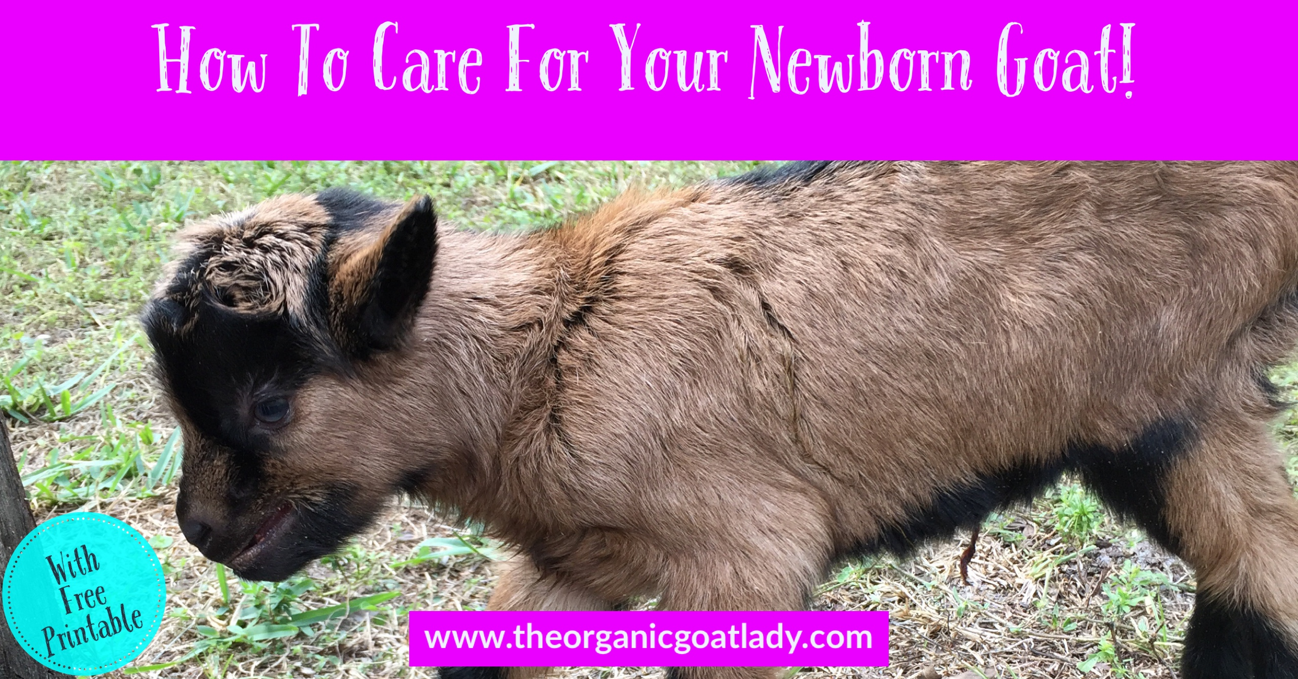 How To Care For Your Newborn Goat!