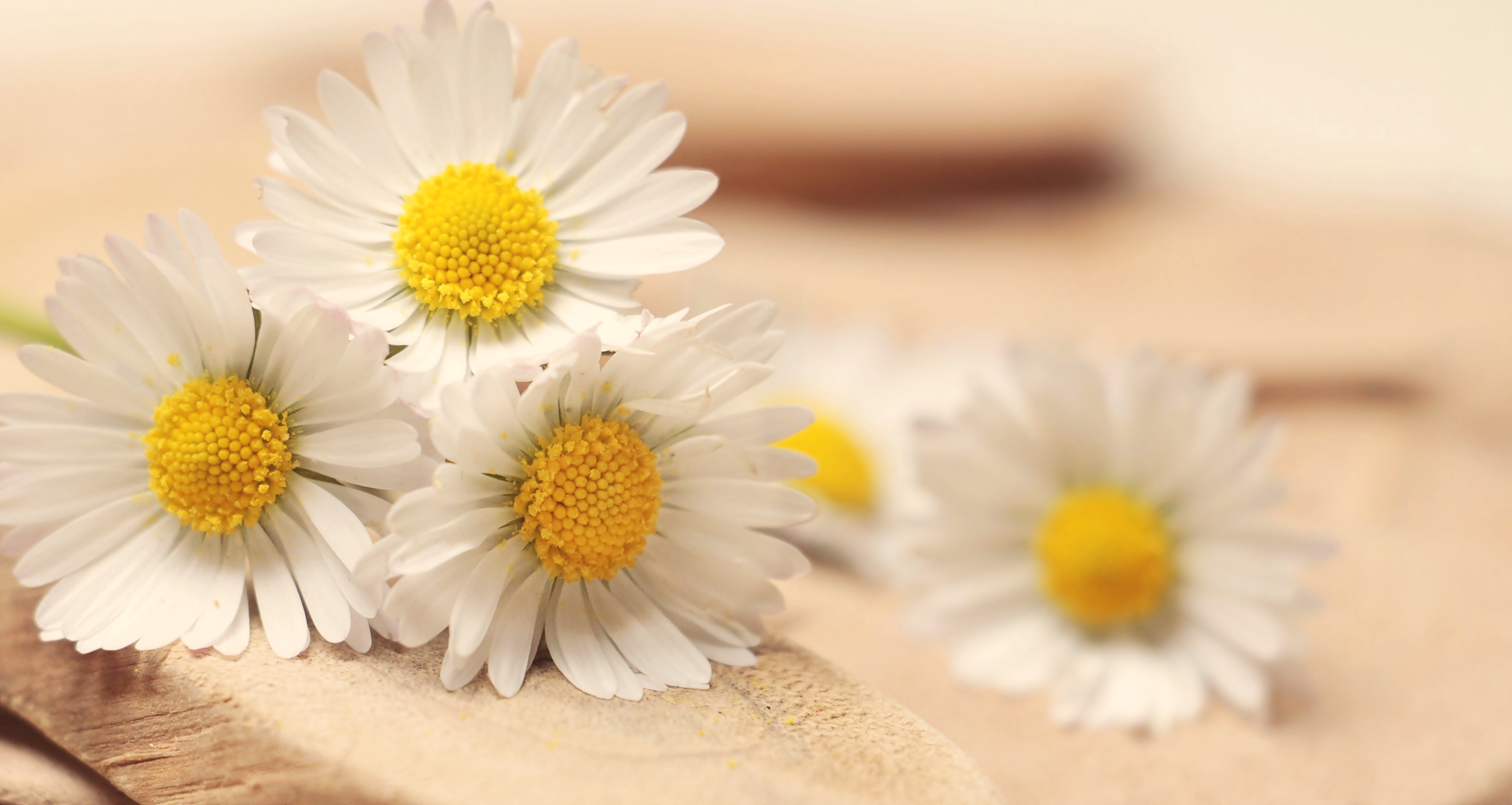 Why You Should Use Roman Chamomile Essential Oil The Organic Goat