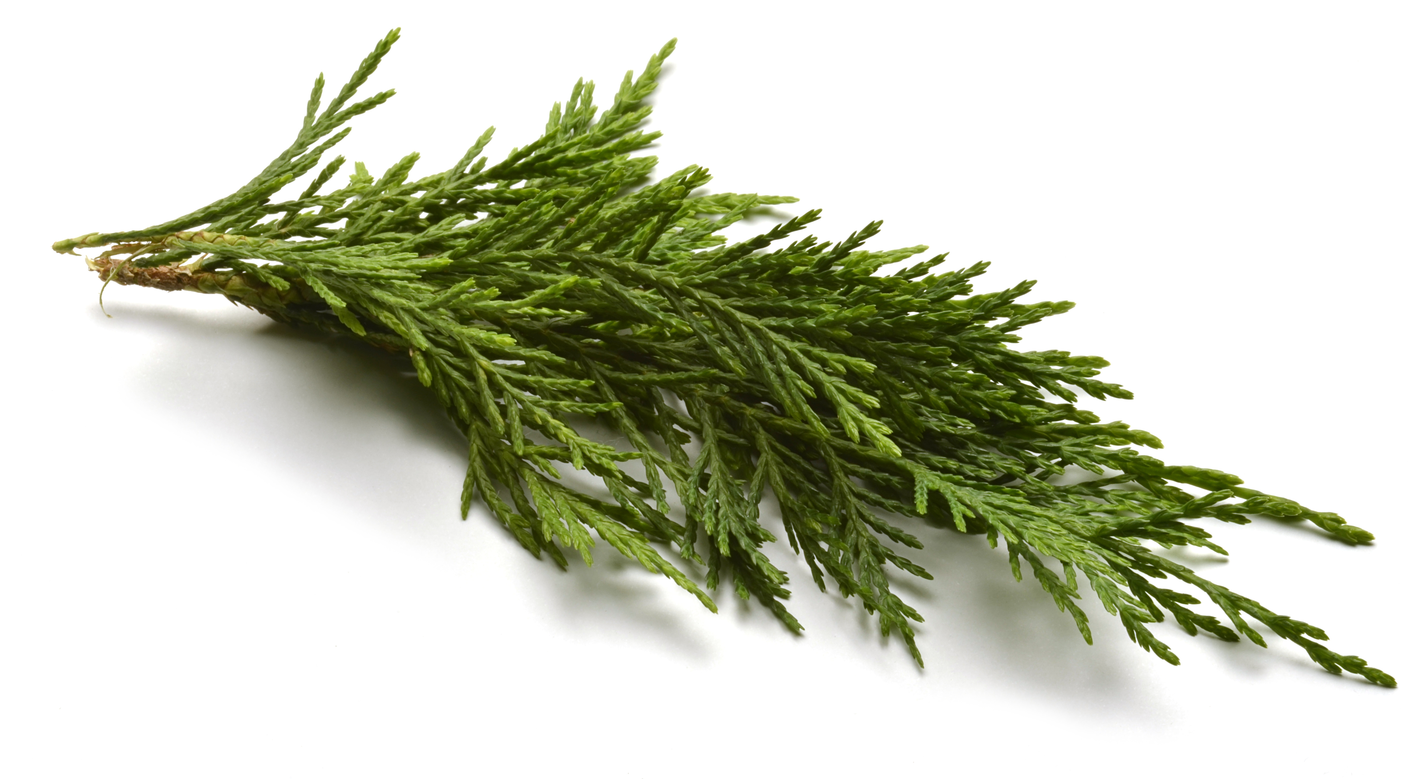 Why You Should Use Cypress Essential Oil!