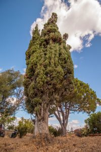 Mediterranean Cypress tree