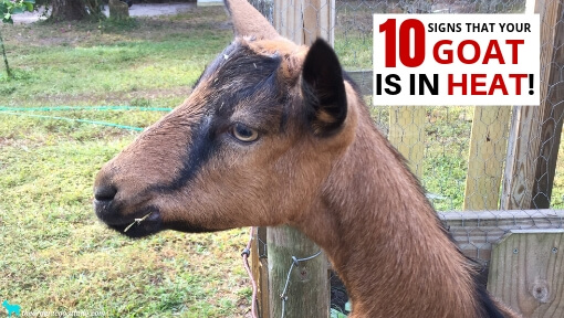 How To Tell If Your Goat Is In Heat – 10 Signs