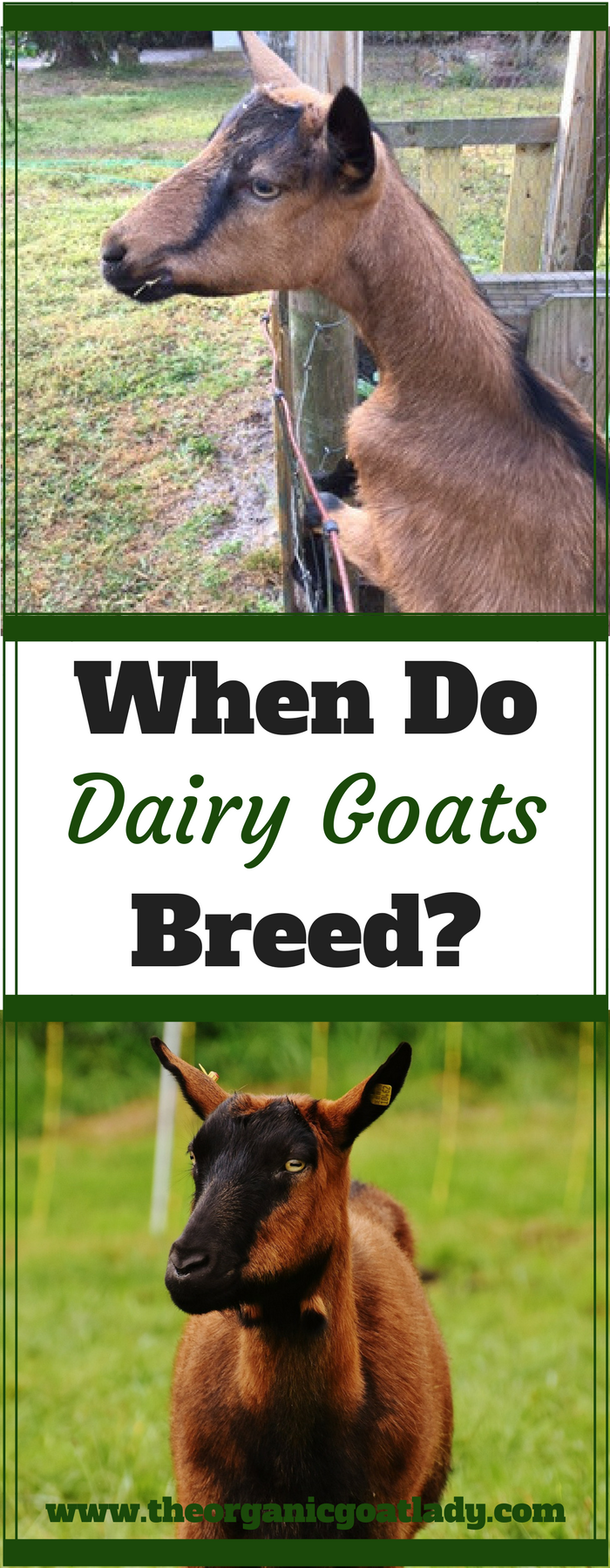 When Do Dairy Goats Breed?
