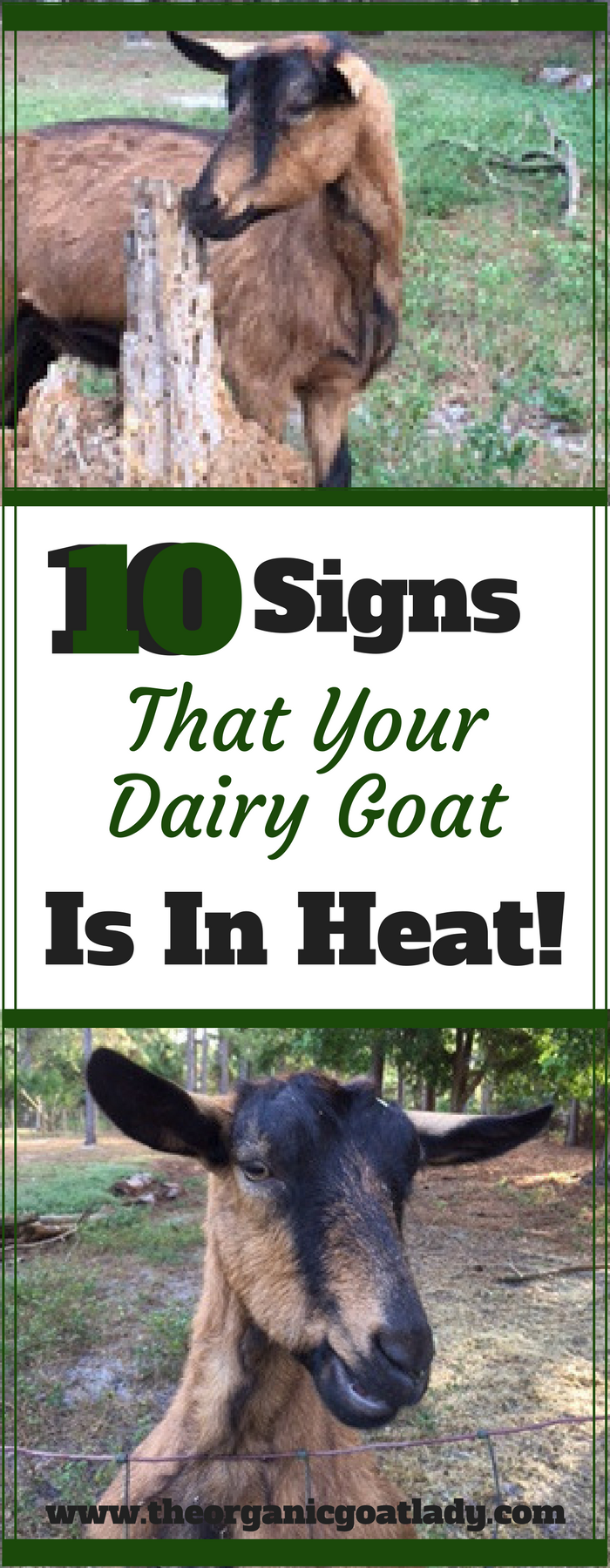 10 Signs That Your Dairy Goat Is In Heat!