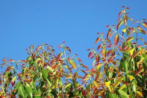Cinnamon Leaf