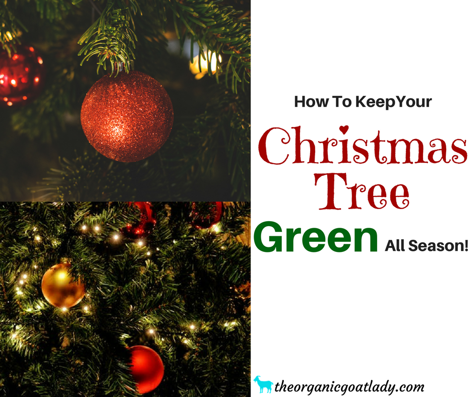 How To Keep A Christmas Tree Alive! - The Organic Goat Lady