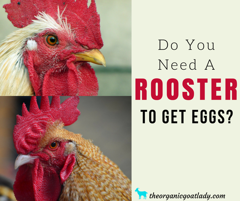 Do Hens Need A Rooster To Lay Eggs?