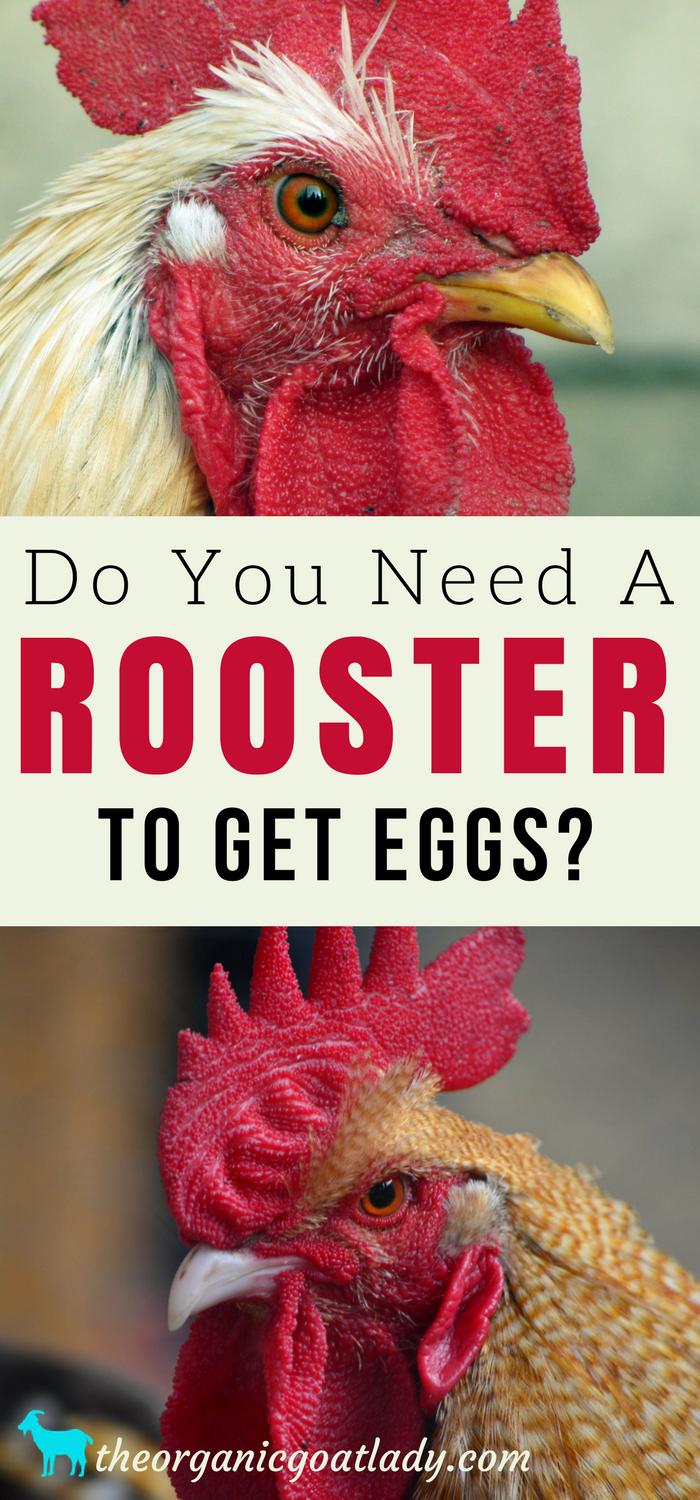 Do You Need A Rooster To Get Eggs