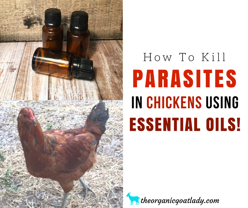 How To Kill Parasites In Chickens Using Essential Oils