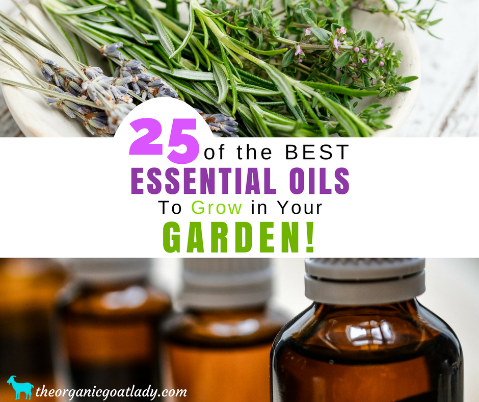 25 Essential Oils To Grow In Your Garden!
