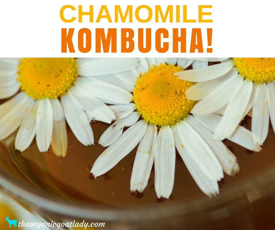 Chamomile Kombucha!