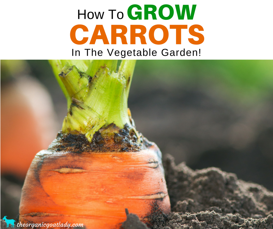 How To Grow Carrots In The Vegetable Garden!