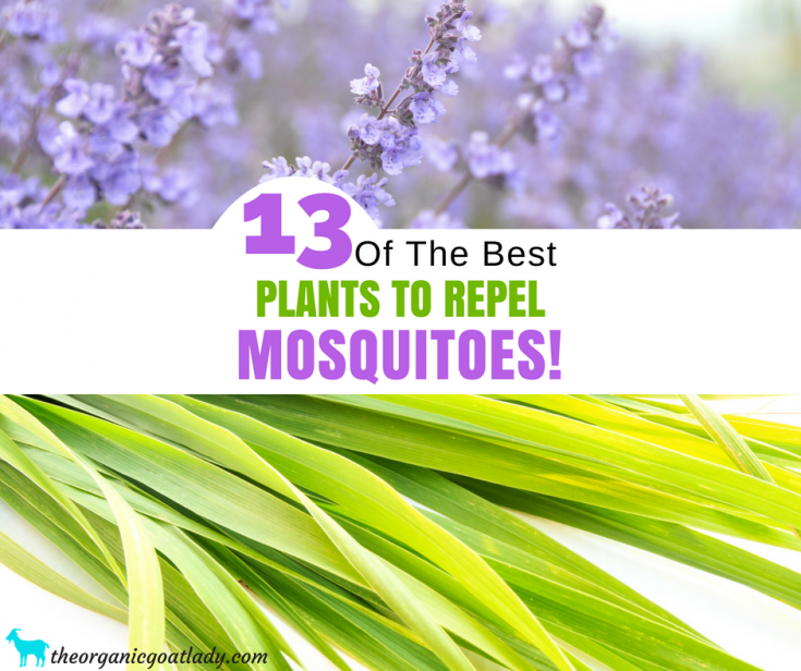 13 Plants That Repel Mosquitoes!