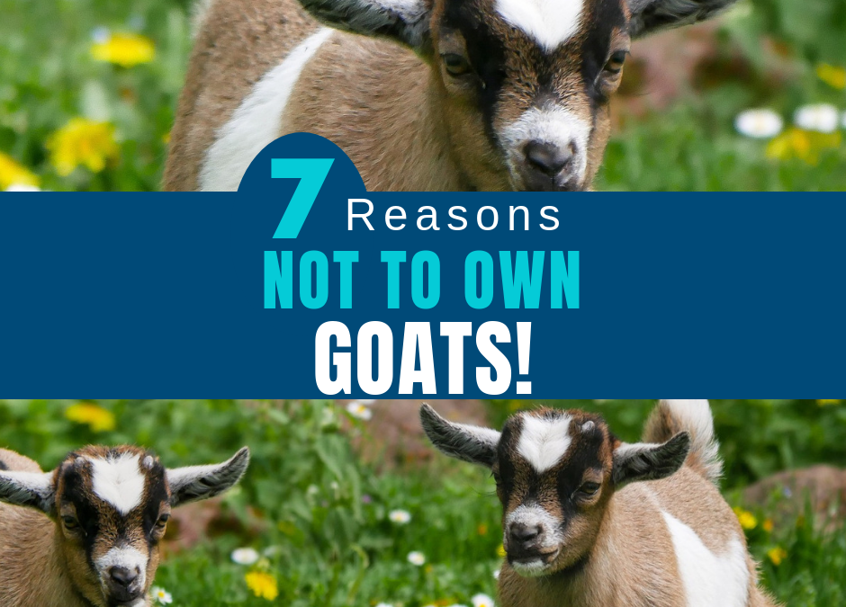 7 Reasons Not to Own Goats!