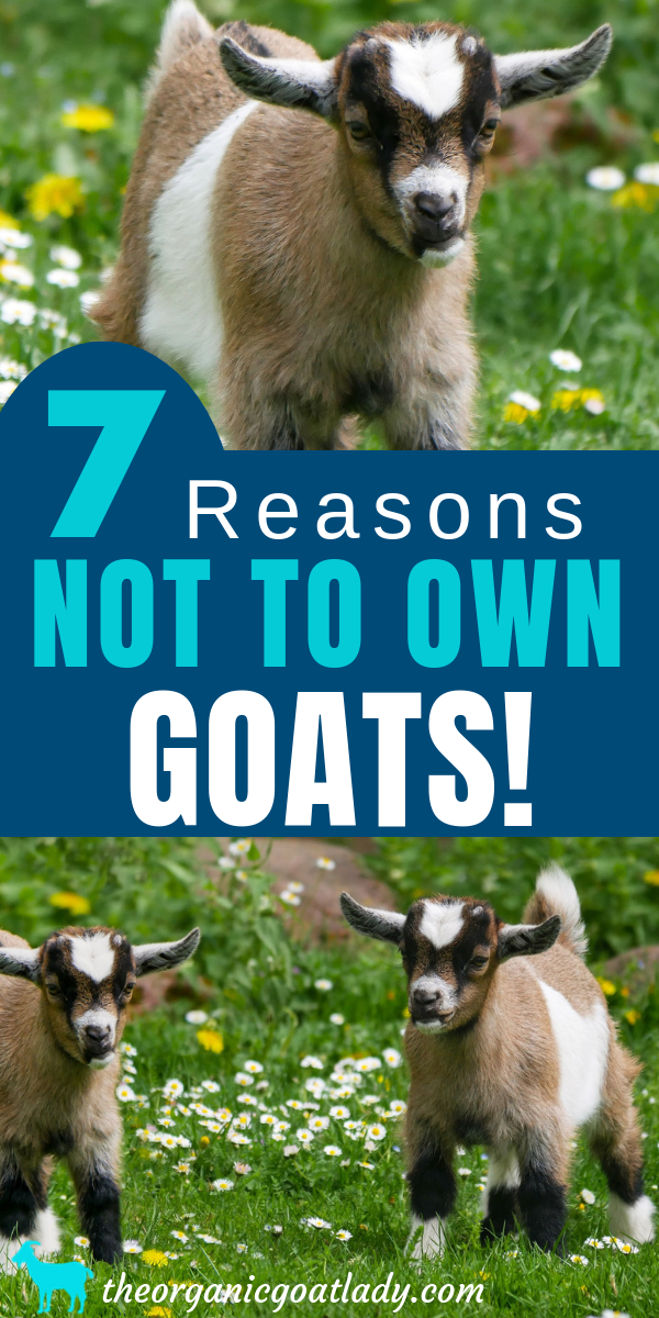 Owning a Goat
