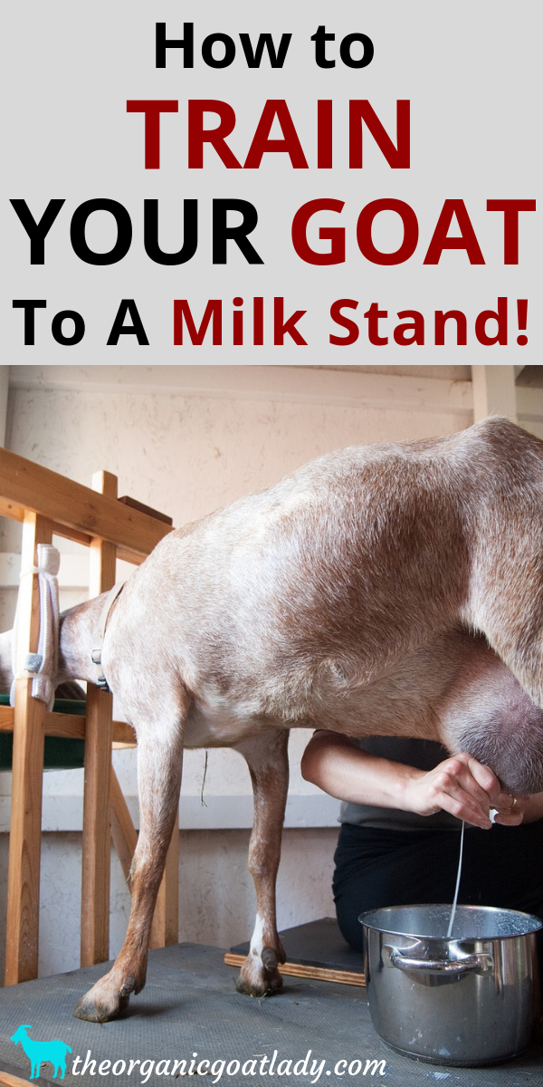 How to Train Your Goat to a Milk Stand