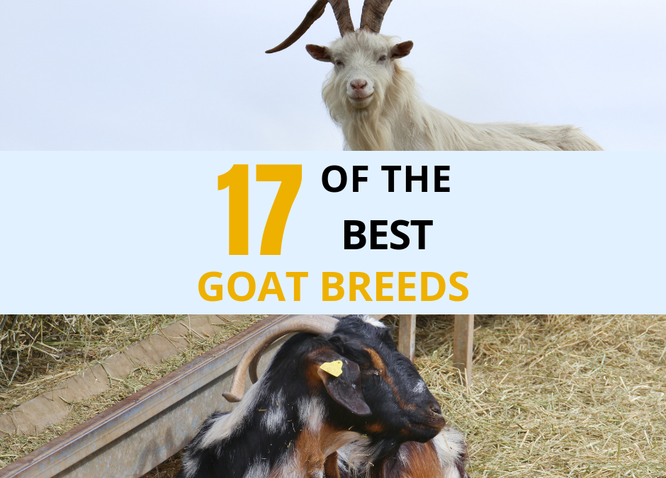 17 of the Best Goat Breeds