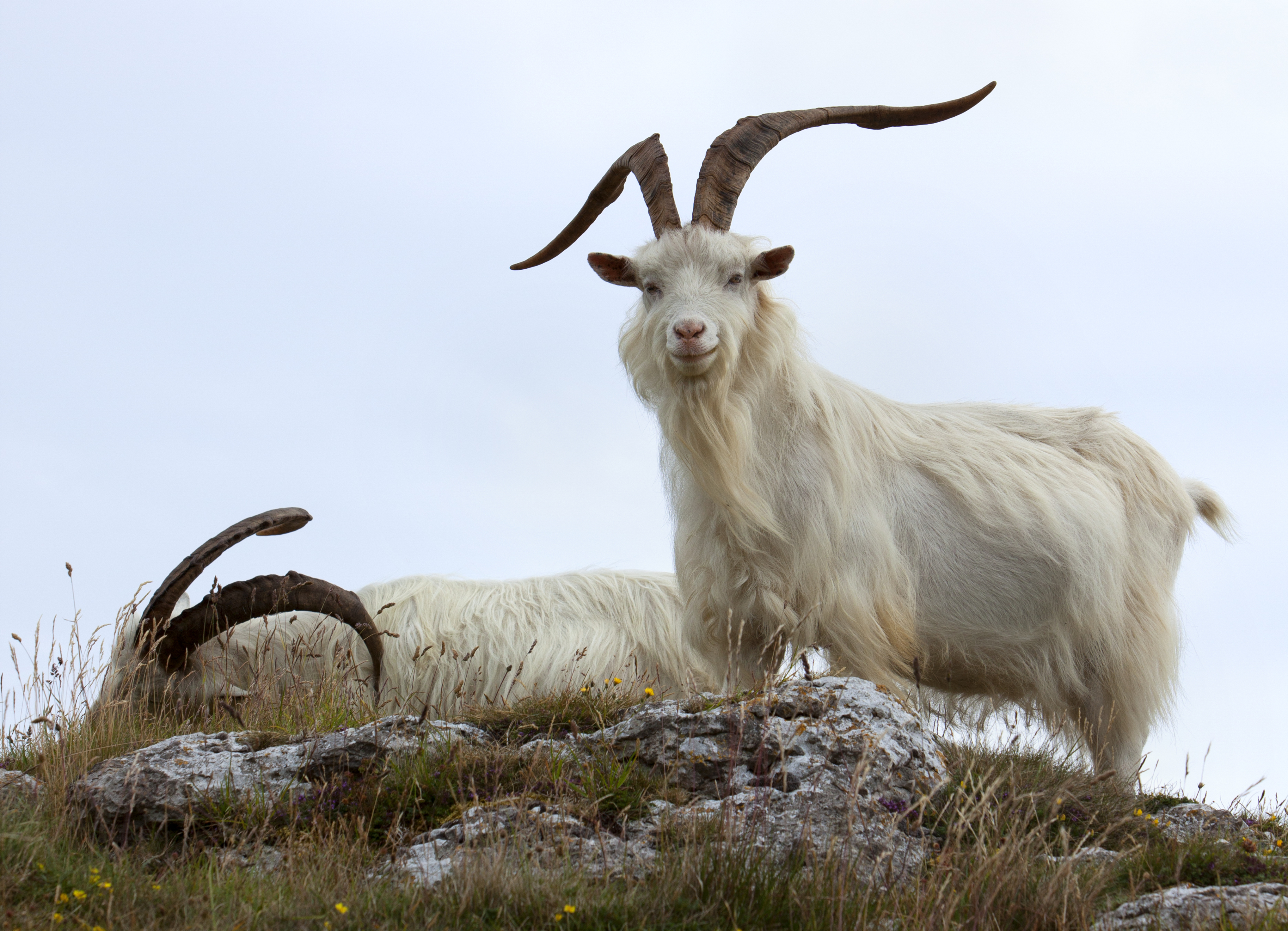 17 of the Best Goat Breeds - The Organic Goat Lady