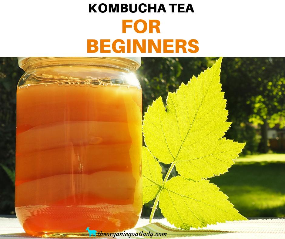 Kombucha Tea Info For Beginners