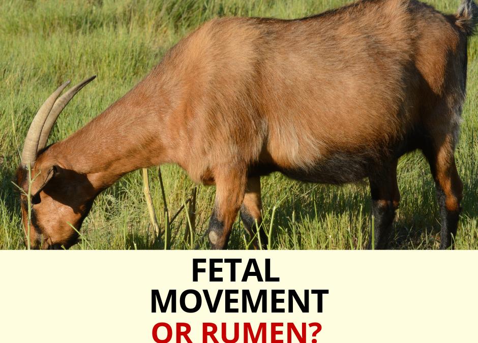 Pregnant Goat – Fetal Movement versus Rumen