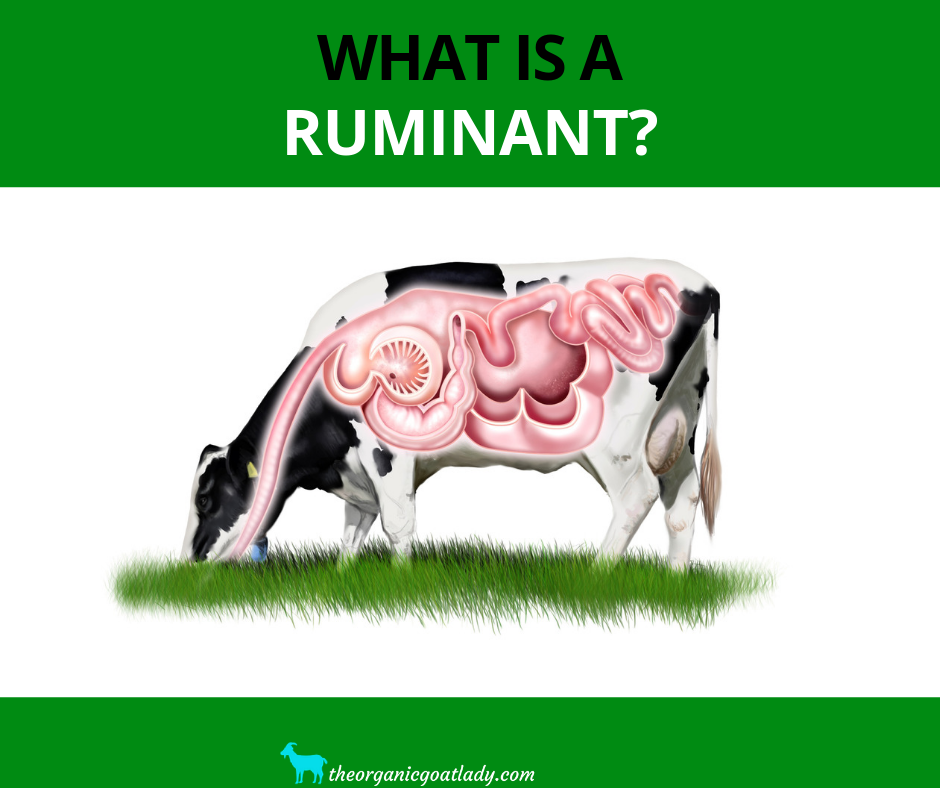 What is a Ruminant?
