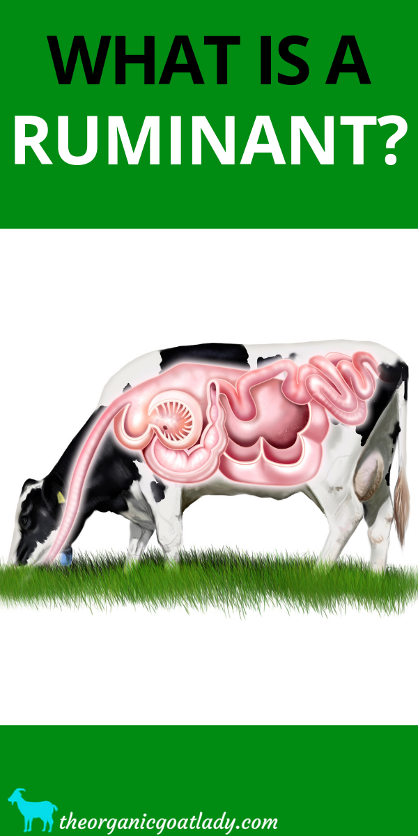 What is a Ruminant