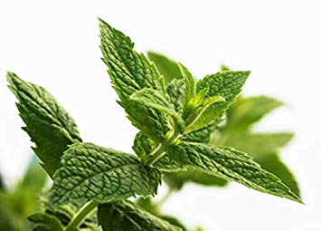 500 Peppermint Herb Seeds - Mentha Piperita, Menthol Mint - by RDR Seeds