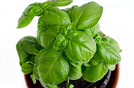 RDR Seeds 150 Sweet Basil Seeds- Genovese Basil, Genovese Ocimum Basilicum, Pesto Basil