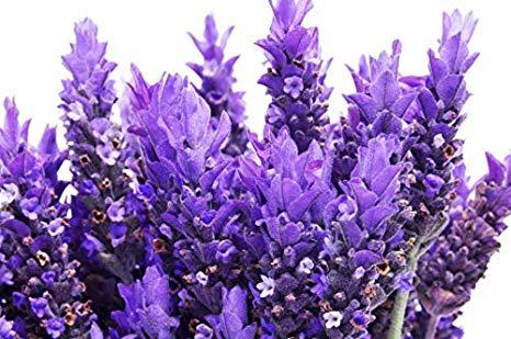 RDR 100 Lavender Vera Seeds – True Lavender, English Lavender, Lavandula Angustifolia