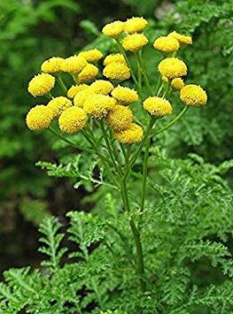 500 Seeds Tansy Method bio Seeds Perennial Flower Garden Insect Friend