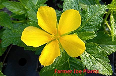 "Buttercup TURNERA ULMIFOLIA - 2 Live Plants - 3.25"" Pot"