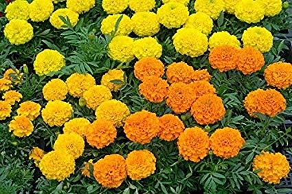 Mexican Marigold - Dwarf Varieties' Mix; Aztec Marigold - 135 Seeds