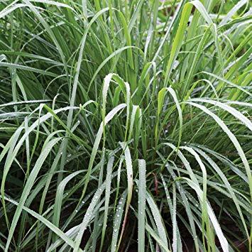Burpee Lemongrass Cymbopogon Citratus | 10 Multi-Seed Pellets