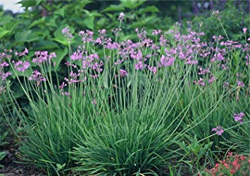 20 Society Garlic Seeds - Tulbaghia Violacea - both ornamental and kitchen Herb