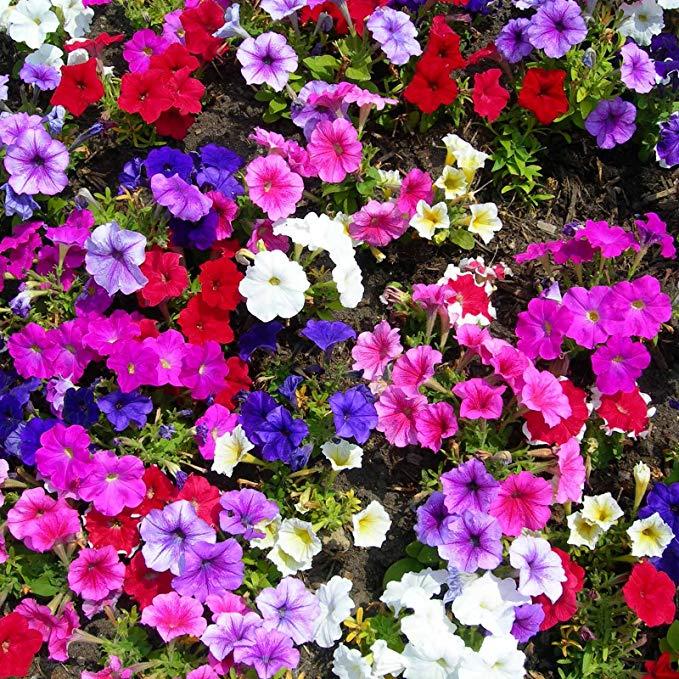 Petunia - Madness Series Flower Garden Seed - 1000 Pelleted Seeds - Moonlight Mix Blooms - Annual Flowers - Single Floribunda Petunias