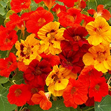 Outsidepride Nasturtium Flower Seed Mix - 1/4 LB