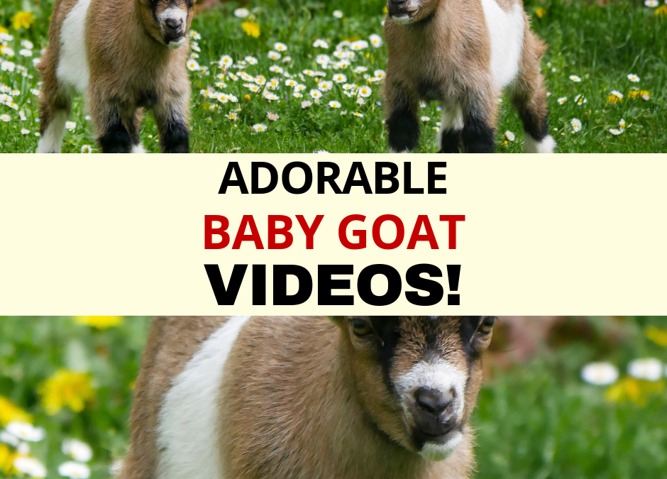 Baby Goat Videos!