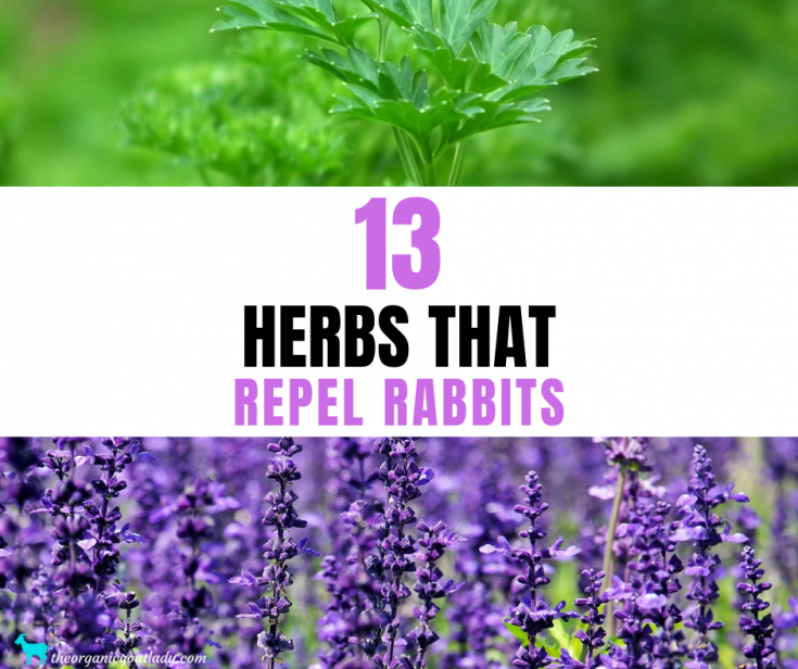 13 Herbs That Repel Rabbits