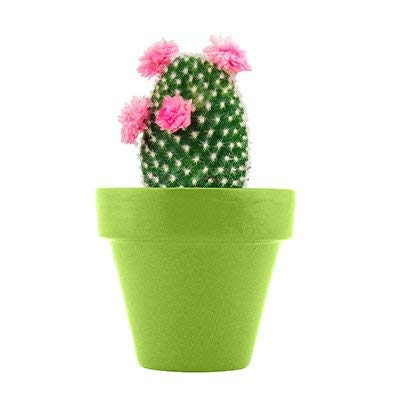 Spring Floral (Bonus BCL Exclusive Garden Fairy) Mini Grow Pot Kit Plant Seeds Plant Outdoor & Indoor Cactus