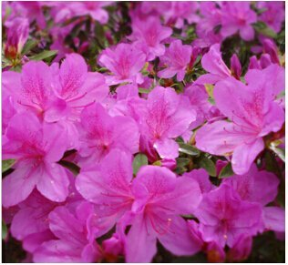 100 pcs / bag, Azalea seeds, potted seed, flower seed, variety complete, the budding rate 95%, (Mixed colors)