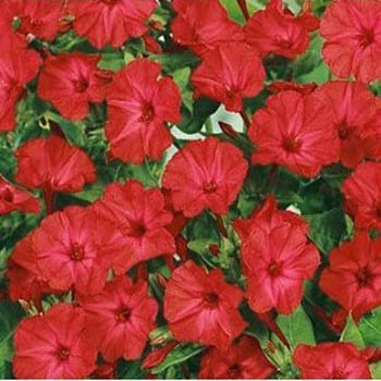 Outsidepride Mirabilis Four O'Clock Vine Red Flower Seed - 1/4 LB