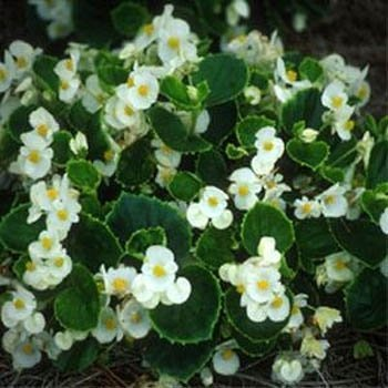 Outsidepride Wax Begonia Semperflorens White Plant Seed - 5000 Seeds
