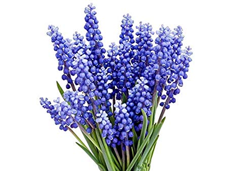 15 Grape Hyacinth - Muscari Armeniacum - Bulb Top Size 9-10 cm - Spring Bloom