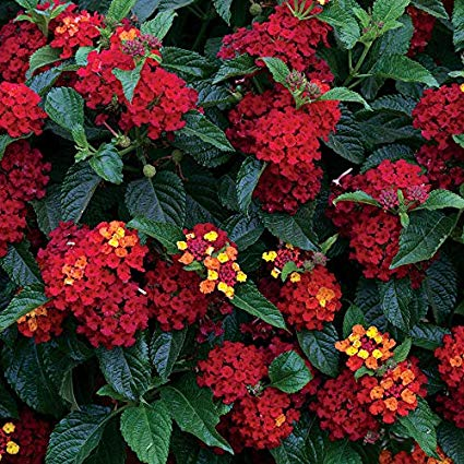50pcs Lantana Camara Seeds Beautiful Rare Perennial Gorgeous red Flower Bonsai