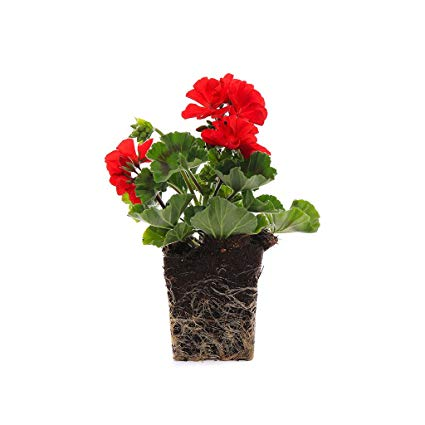 Plants by Post Quart 4in Geranium Presto Flowering Plant, Red