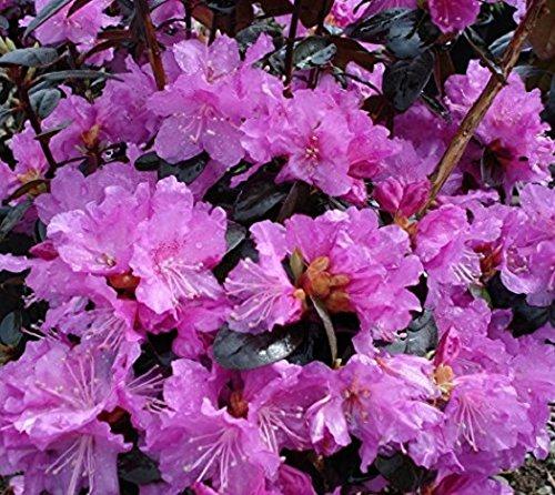 PJM Elite Lavender Rhododendron - Live Plant - Quart Pot