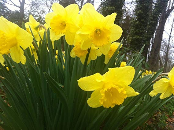 25 WILD DAFFODIL FLOWER BULBS (NARCISSUS PSEUDONARCISSUS)