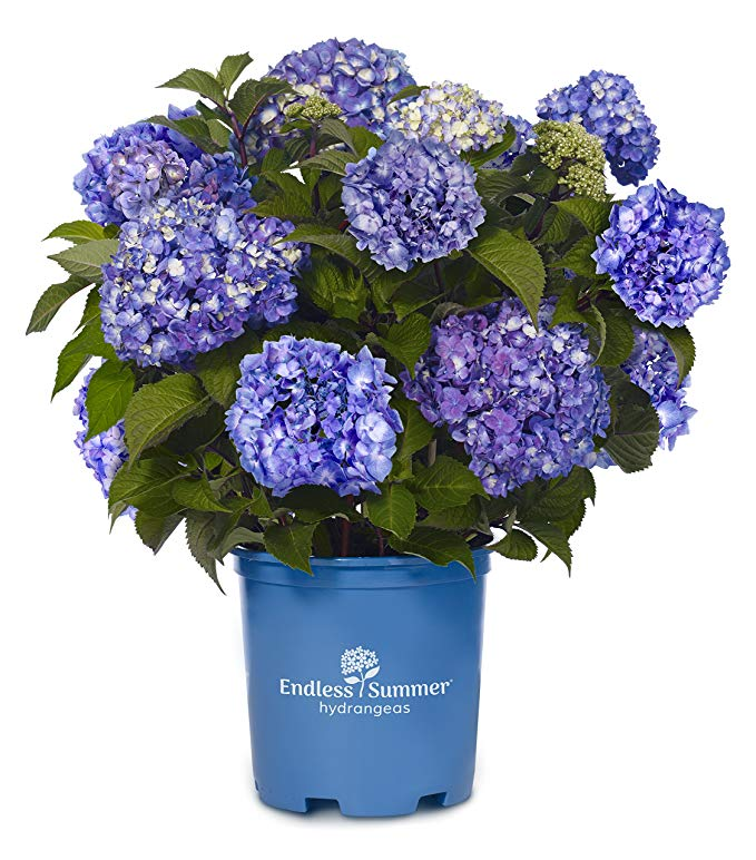 Endless Summer Collection - Hydrangea mac. Endless Summer BloomStruck (Reblooming Hydrangea) Shrub, RB purple, #2 - Size Container